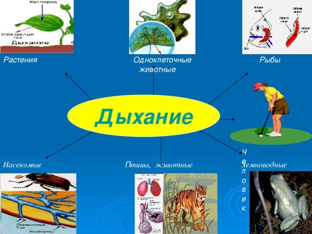 Человек  Растения   Одноклеточные  Рыбы  животные       Дыхание Насекомые П тицы, животные  Земноводные