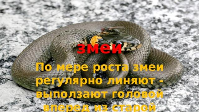 змеи По мере роста змеи регулярно линяют - выползают головой вперед из старой кожи, как из чулка.