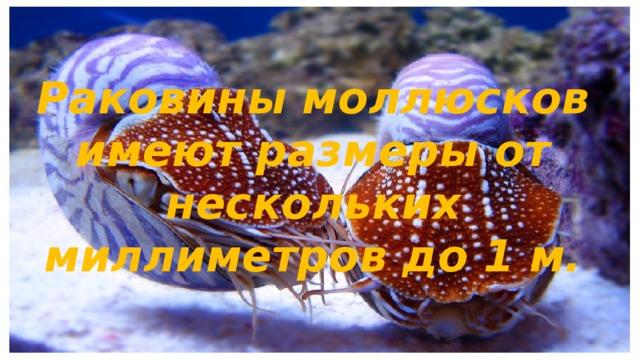 Раковины моллюсков имеют размеры от нескольких миллиметров до 1 м.
