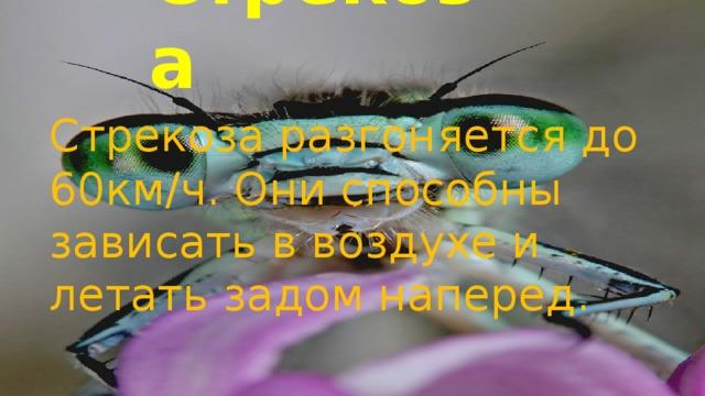 Стрекоза Стрекоза разгоняется до 60км/ч. Они способны зависать в воздухе и летать задом наперед.