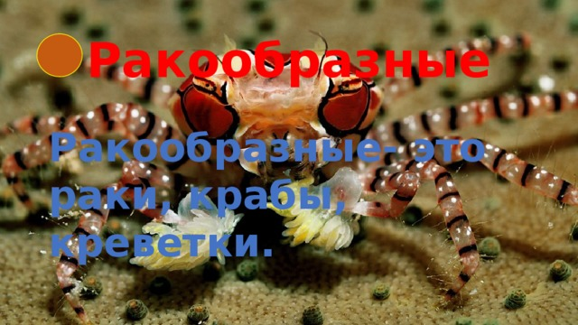Ракообразные Ракообразные- это раки, крабы, креветки.