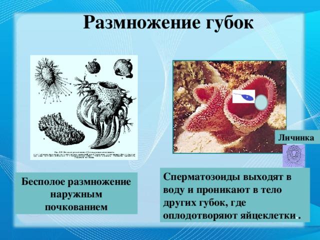 Размножение губок  Личинка Сперматозоиды выходят в воду и проникают в тело других губок, где оплодотворяют яйцеклетки . . Бесполое размножение наружным почкованием