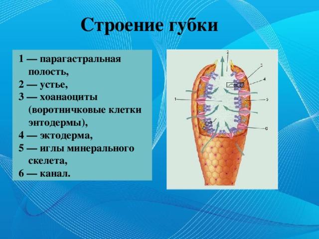 Строение губки 1 — парагастральная полость, 2 — устье, 3 — хоанаоциты (воротничковые клетки энтодермы), 4 — эктодерма, 5 — иглы минерального скелета, 6 — канал.