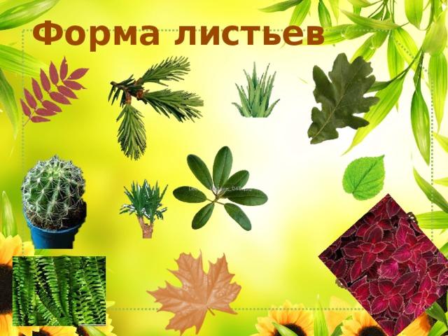 Форма листьев