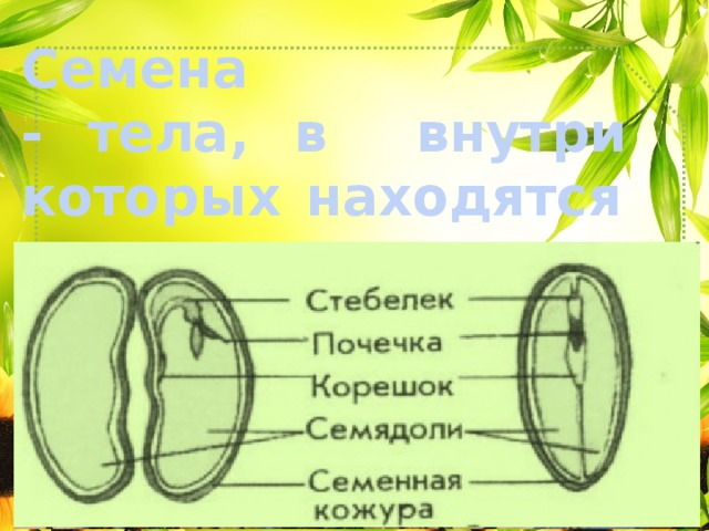 Семена - тела, в внутри которых находятся зародыши