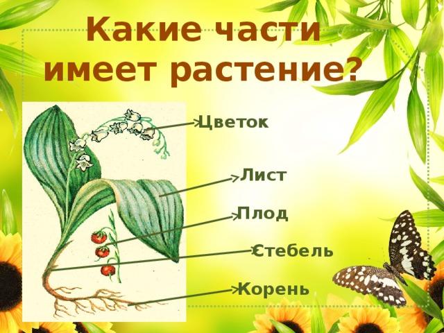 Какие части имеет растение? Цветок Лист Плод Стебель Корень