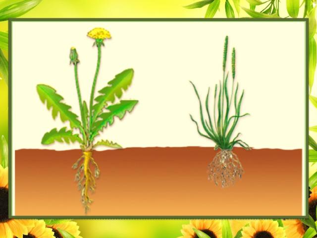 Корень – подземный орган, обладающий неограниченным ростом в длину.