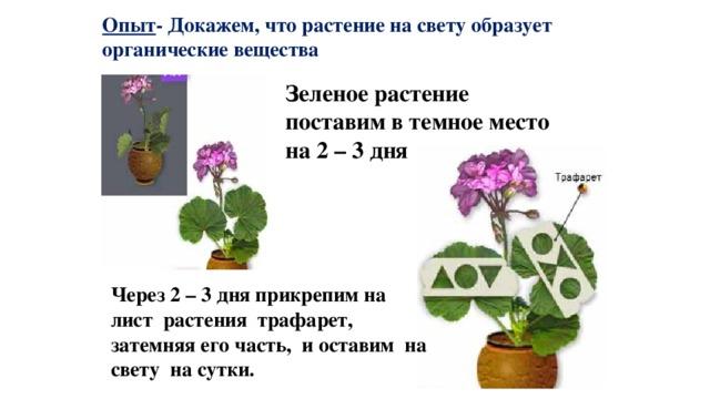 Опыт - Докажем, что растение на свету образует органические вещества Зеленое растение поставим в темное место на 2 – 3 дня Через 2 – 3 дня прикрепим на лист растения трафарет, затемняя его часть, и оставим на свету на сутки.