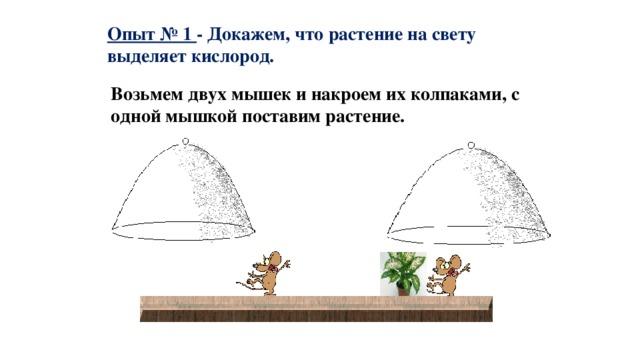 Опыт № 1 - Докажем, что растение на свету выделяет кислород. Возьмем двух мышек и накроем их колпаками, с одной мышкой поставим растение.