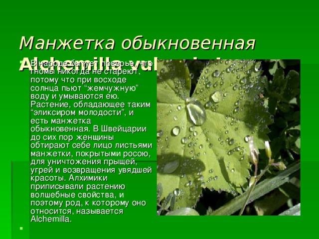 Манжетка обыкновенная  Alchemilla vulgaris L.