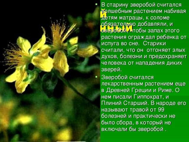 В старину зверобой считался волшебным растением набивая детям матрацы, к соломе обязательно добавляли, и зверобой, чтобы запах этого растения ограждал ребенка от испуга во сне. Старики считали, что он отгоняет злых духов, болезни и предохраняет человека от нападения диких зверей. Зверобой считался лекарственным растением еще в Древней Греции и Риме. О нем писали Гиппократ, и Плиний Старший. В народе его называют травой от 99 болезней и практически не было сбора, в который не включали бы зверобой .
