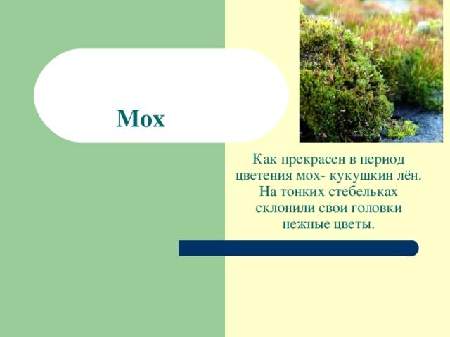 Мох Как прекрасен в период цветения мох- кукушкин лён. На тонких стебельках склонили свои головки нежные цветы.
