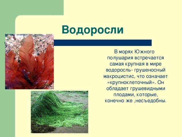 Водоросли  В морях Южного полушария встречается самая крупная в мире водоросль- грушеносный макроцистис, что означает «крупноклеточный». Он обладает грушевидными плодами, которые, конечно же ,несъедобны.