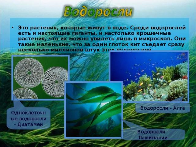 Это растения, которые живут в воде. Среди водорослей есть и настоящие гиганты, и настолько крошечные растения, что их можно увидеть лишь в микроскоп. Они такие маленькие, что за один глоток кит съедает сразу несколько миллионов штук этих водорослей.