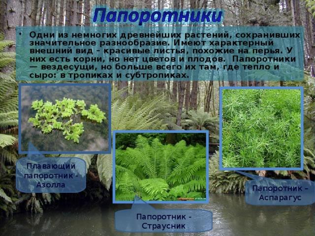 Одни из немногих древнейших растений, сохранивших значительное разнообразие. Имеют характерный внешний вид – красивые листья, похожие на перья. У них есть корни, но нет цветов и плодов. Папоротники — вездесущи, но больше всего их там, где тепло и сыро: в тропиках и субтропиках.