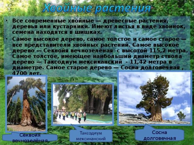 Все современные хвойные — древесные растения, деревья или кустарники. Имеют листья в виде хвоинок, семена находятся в шишках. Самое высокое дерево, самое толстое и самое старое — все представители хвойных растений. Самое высокое дерево — Секвойя вечнозелёная с высотой 115,2 метра. Самое толстое, имеющее наибольший диаметр ствола дерево — Таксодиум мексиканский - 11,42 метра в диаметре. Самое старое дерево — Сосна долговечная , 4700 лет.