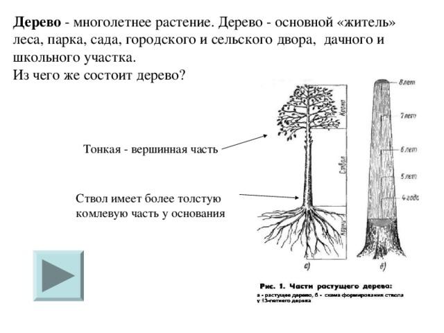 Дерево - многолетнее растение. Дерево - основной «житель» леса, парка, сада, городского и сельского двора, дачного и школьного участка.  Из чего же состоит дерево?    Тонкая - вершинная часть Ствол имеет более толстую комлевую часть у основания