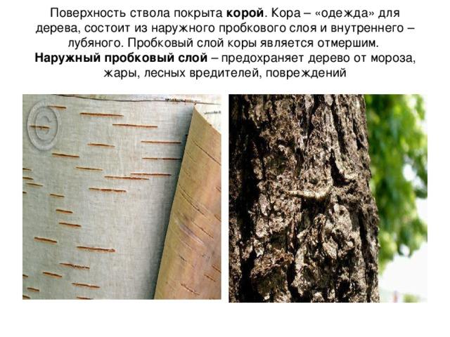 Поверхность ствола покрыта корой . Кора – «одежда» для дерева, состоит из наружного пробкового слоя и внутреннего – лубяного. Пробковый слой коры является отмершим.  Наружный пробковый слой – предохраняет дерево от мороза, жары, лесных вредителей, повреждений