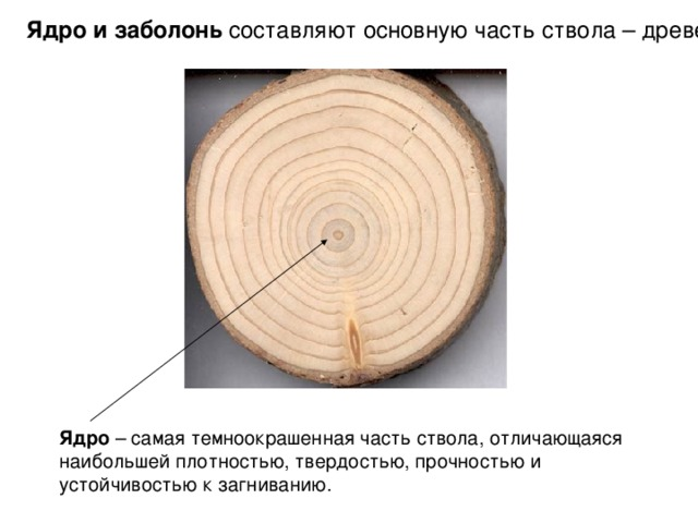 Ядро и заболонь составляют основную часть ствола – древесину Ядро – самая темноокрашенная часть ствола, отличающаяся наибольшей плотностью, твердостью, прочностью и устойчивостью к загниванию.