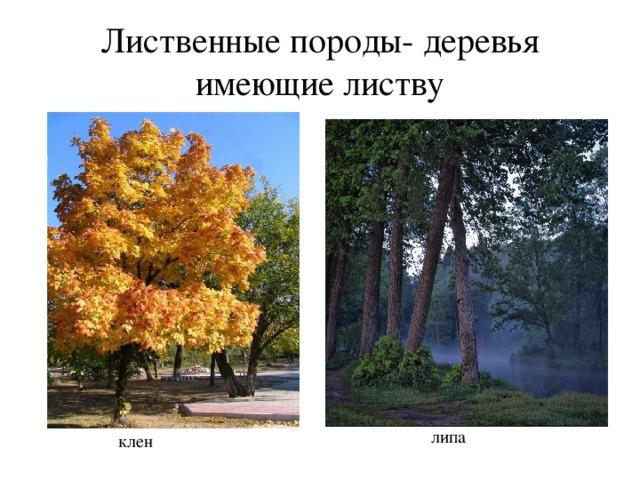 Лиственные породы- деревья имеющие листву липа клен