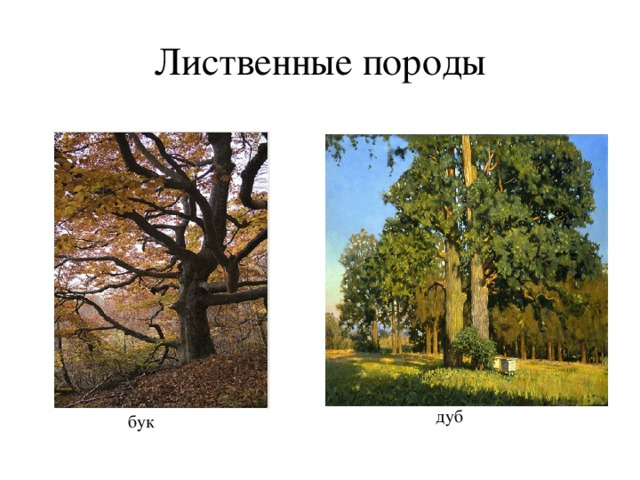 Лиственные породы дуб бук