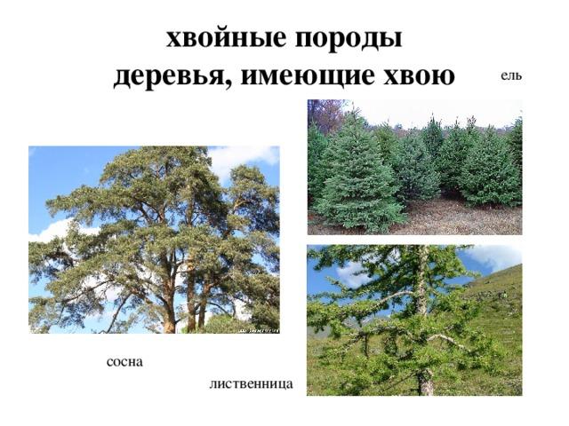 хвойные породы  деревья, имеющие хвою ель сосна лиственница