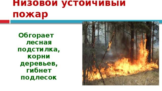 Низовой устойчивый пожар  Обгорает лесная подстилка, корни деревьев, гибнет подлесок   Происходят летом