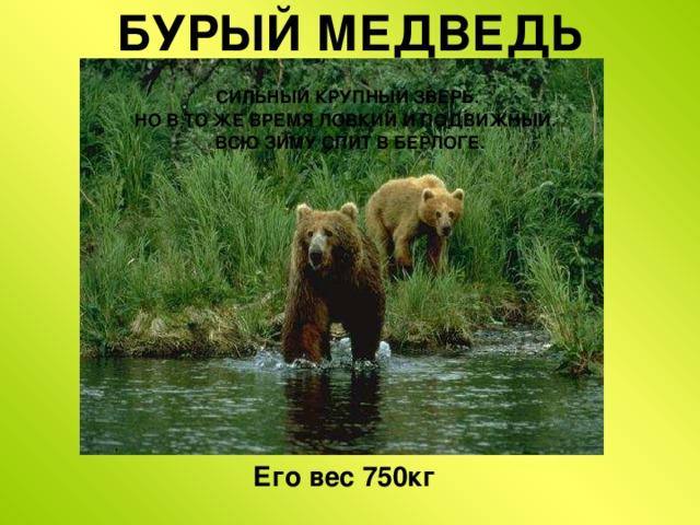 БУРЫЙ МЕДВЕДЬ СИЛЬНЫЙ КРУПНЫЙ ЗВЕРЬ. НО В ТО ЖЕ ВРЕМЯ ЛОВКИЙ И ПОДВИЖНЫЙ. ВСЮ ЗИМУ СПИТ В БЕРЛОГЕ. Его вес 750кг  Бурый медведь  медведь – сильный крупный зверь.  Но в то же время ловкий и подвижный.  Медведи всю зиму спят в берлоге.
