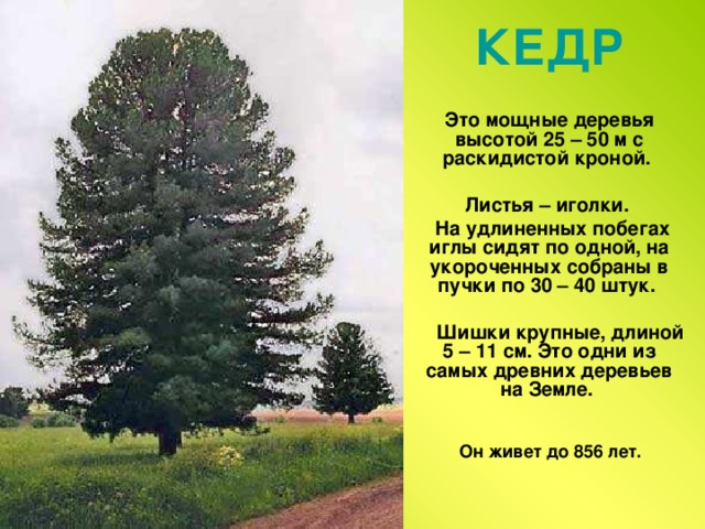 КЕДР  Это мощные деревья высотой 25 – 50 м с раскидистой кроной.   Листья – иголки.  На удлиненных побегах иглы сидят по одной, на укороченных собраны в пучки по 30 – 40 штук.   Шишки крупные, длиной 5 – 11 см. Это одни из самых древних деревьев на Земле. Он живет до 856 лет.