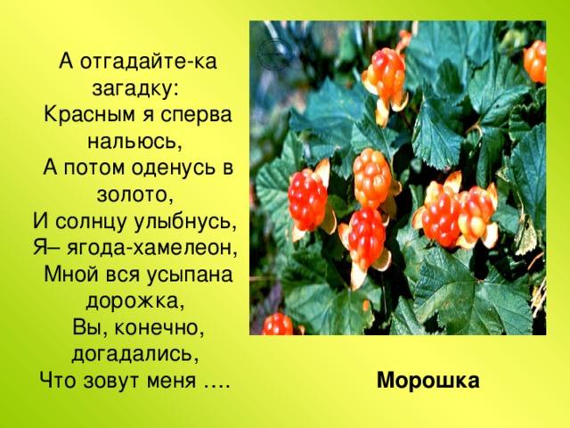 А отгадайте-ка загадку:  Красным я сперва нальюсь,  А потом оденусь в золото,  И солнцу улыбнусь,  Я– ягода-хамелеон,  Мной вся усыпана дорожка,  Вы, конечно, догадались,  Что зовут меня …. Морошка