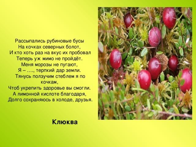 Рассыпались рубиновые бусы  На кочках северных болот,  И кто хоть раз на вкус их пробовал  Теперь уж мимо не пройдёт.  Меня морозы не пугают,  Я – …., терпкий дар земли.  Тянусь ползучим стеблем я по кочкам,  Чтоб укрепить здоровье вы смогли.  А лимонной кислоте благодаря,  Долго сохраняюсь в холоде, друзья. Клюква