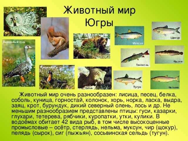 Животный мир Югры Животный мир очень разнообразен: лисица, песец, белка, соболь, куница, горностай, колонок, хорь, норка, ласка, выдра, заяц, крот, бурундук, дикий северный олень, лось и др. Не меньшим разнообразием представлены птицы: гуси, казарки, глухари, тетерева, рябчики, куропатки, утки, кулики. В водоёмах обитает 42 вида рыб, в том числе высокоценные промысловые – осётр, стерлядь, нельма, муксун, чир (щокур), пелядь (сырок), сиг (пыжьян), сосьвинская сельдь (тугун).