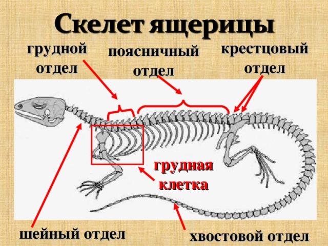 грудной  отдел крестцовый  отдел поясничный  отдел грудная клетка шейный  отдел хвостовой  отдел