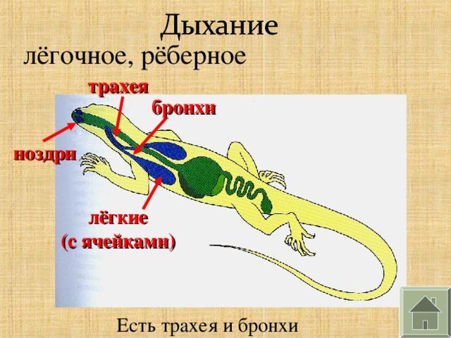 лёгочное, рёберное трахея бронхи ноздри лёгкие (с ячейками) Есть трахея и бронхи