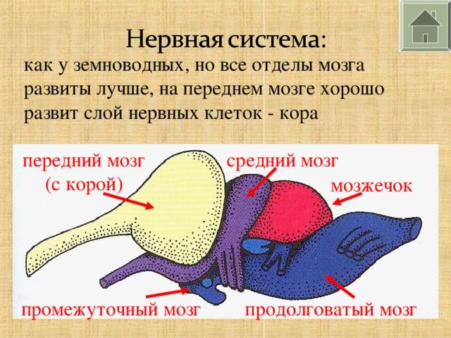 как у земноводных, но все отделы мозга развиты лучше, на переднем мозге хорошо развит слой нервных клеток - кора передний мозг (с корой) средний мозг мозжечок промежуточный мозг продолговатый мозг