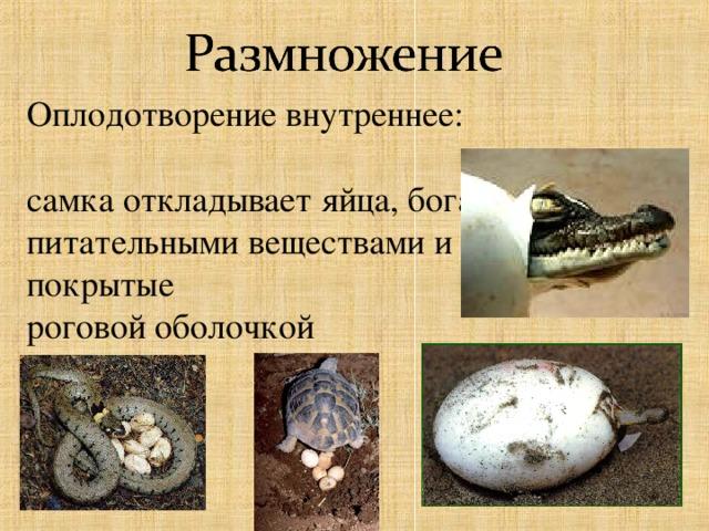Оплодотворение внутреннее:  самка откладывает яйца, богатые питательными веществами и покрытые роговой оболочкой