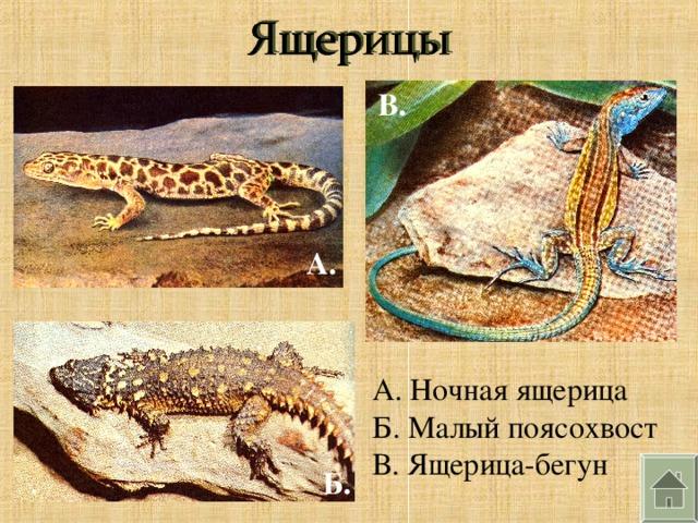 В. А. А. Ночная ящерица Б. Малый поясохвост В. Ящерица-бегун Б.