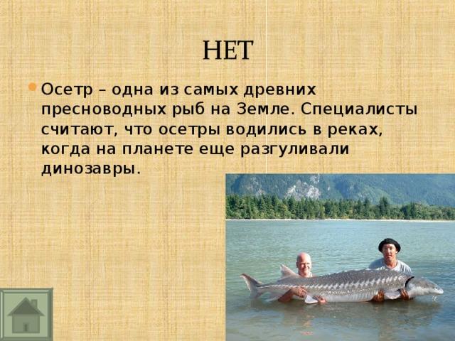 Осетр – одна из самых древних пресноводных рыб на Земле. Специалисты считают, что осетры водились в реках, когда на планете еще разгуливали динозавры.