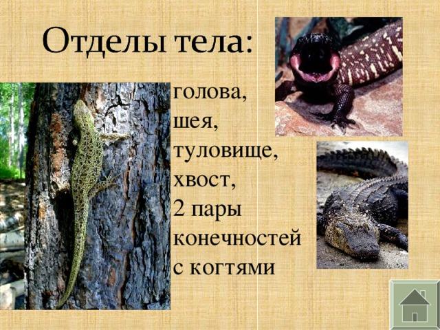 голова, шея, туловище, хвост, 2 пары конечностей с когтями