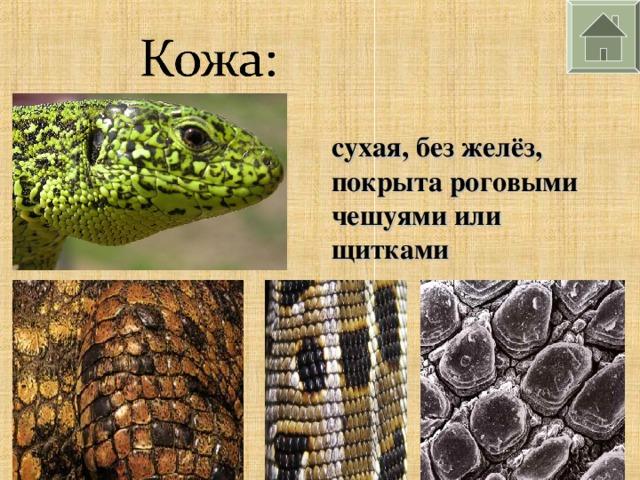 сухая, без желёз, покрыта роговыми чешуями или щитками