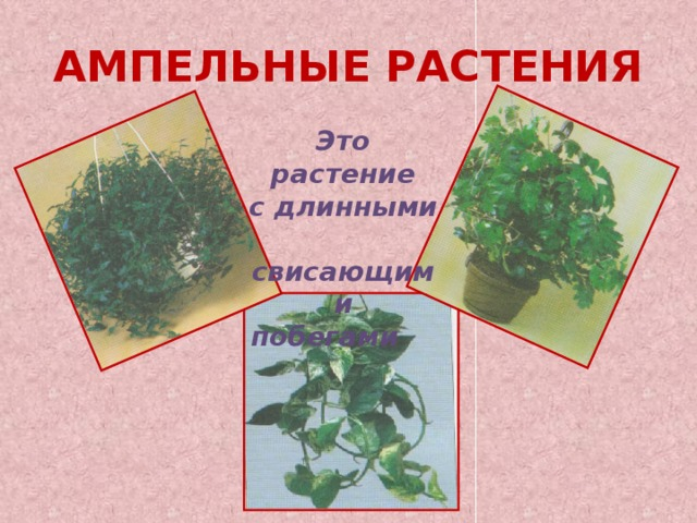 АМПЕЛЬНЫЕ РАСТЕНИЯ Это растение с длинными свисающими побегами