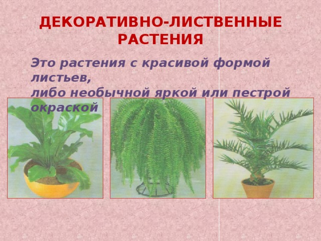 ДЕКОРАТИВНО-ЛИСТВЕННЫЕ РАСТЕНИЯ Это растения с красивой формой листьев, либо необычной яркой или пестрой окраской