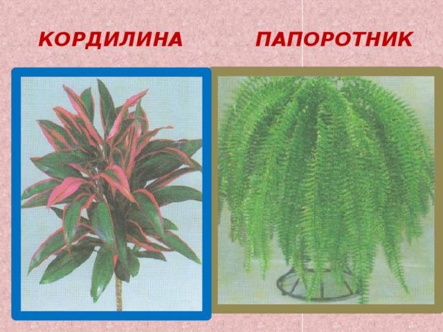 КОРДИЛИНА ПАПОРОТНИК