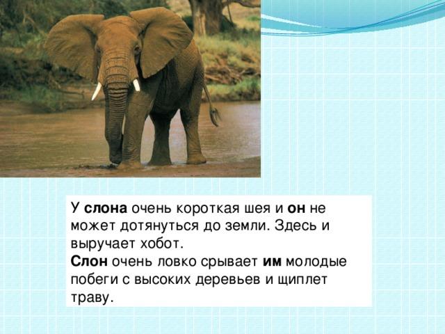 У слона очень короткая шея и он не может дотянуться до земли. Здесьи выручает хобот. Слон очень ловко срывает им молодые побеги свысоких деревьев и щиплет траву.