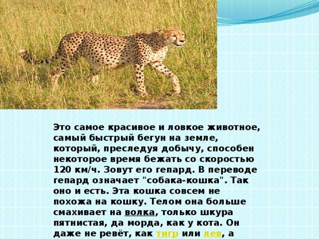 Это самое красивое и ловкое животное, самый быстрый бегун на земле, который, преследуя добычу, способен некоторое время бежать со скоростью 120 км/ч. Зовут егогепард. В переводе гепард означает