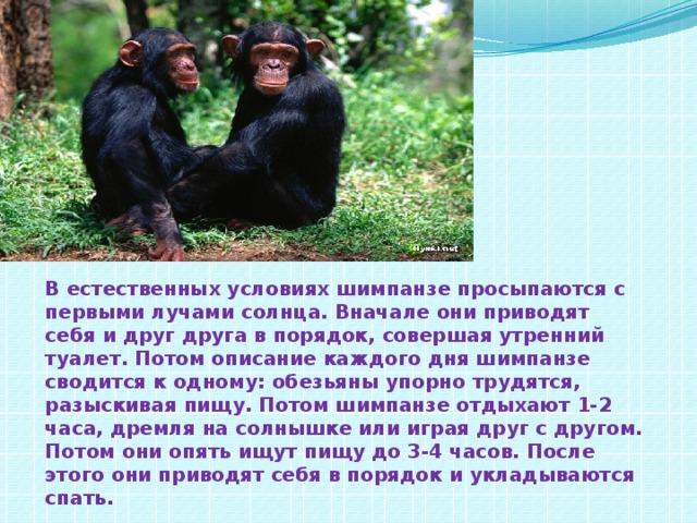 В естественных условиях шимпанзе просыпаются с первыми лучами солнца. Вначале они приводят себя и друг друга в порядок, совершая утренний туалет. Потом описание каждого дня шимпанзе сводится к одному: обезьяны упорно трудятся, разыскивая пищу. Потом шимпанзе отдыхают 1-2 часа, дремля на солнышке или играя друг с другом. Потом они опять ищут пищу до 3-4 часов. После этого они приводят себя в порядок и укладываются спать.
