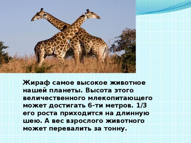 Жираф самое высокое животное нашей планеты. Высота этого величественного млекопитающего может достигать 6-ти метров. 1/3 его роста приходится на длинную шею. А вес взрослого животного может перевалить за тонну.
