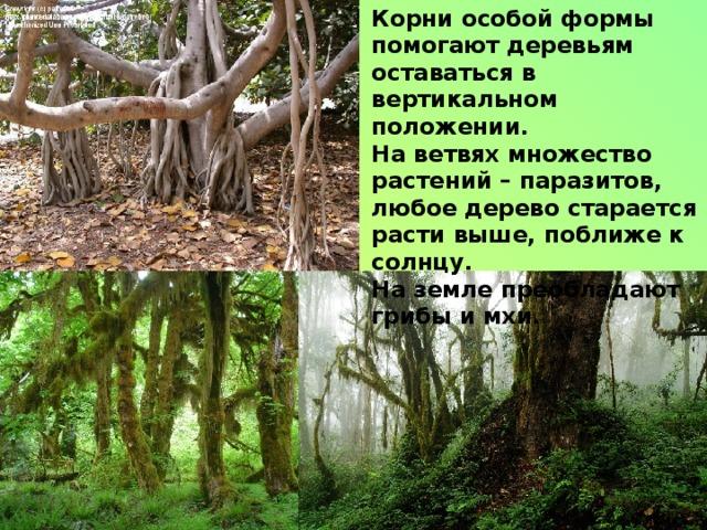 Корни особой формы помогают деревьям оставаться в вертикальном положении. На ветвях множество растений – паразитов, любое дерево старается расти выше, поближе к солнцу. На земле преобладают грибы и мхи.