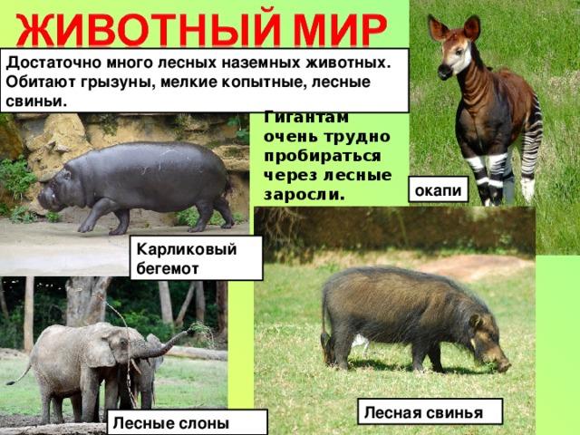 Достаточно много лесных наземных животных. Обитают грызуны, мелкие копытные, лесные свиньи. Гигантам очень трудно пробираться через лесные заросли. окапи Карликовый бегемот Лесная свинья Лесные слоны