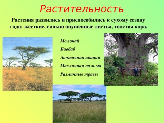 Растительность  Растения развились и приспособились к сухому сезону года: жесткие, сильно опушенные листья, толстая кора. Молочай Баобаб Зонтичная акация Масличная пальма Различные травы